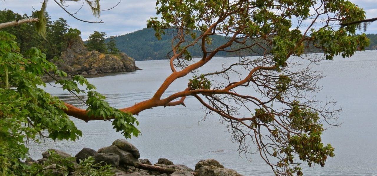 Arbutus Tree IMG_0126 copy
