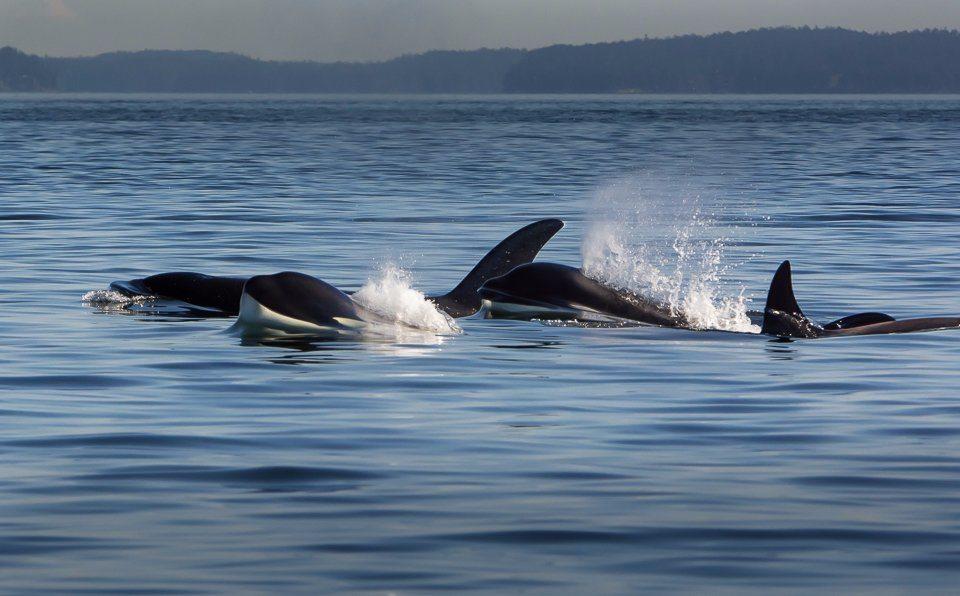 biggs orca 1 1